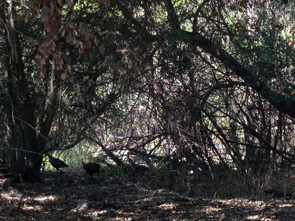 wild turkeys in the woods