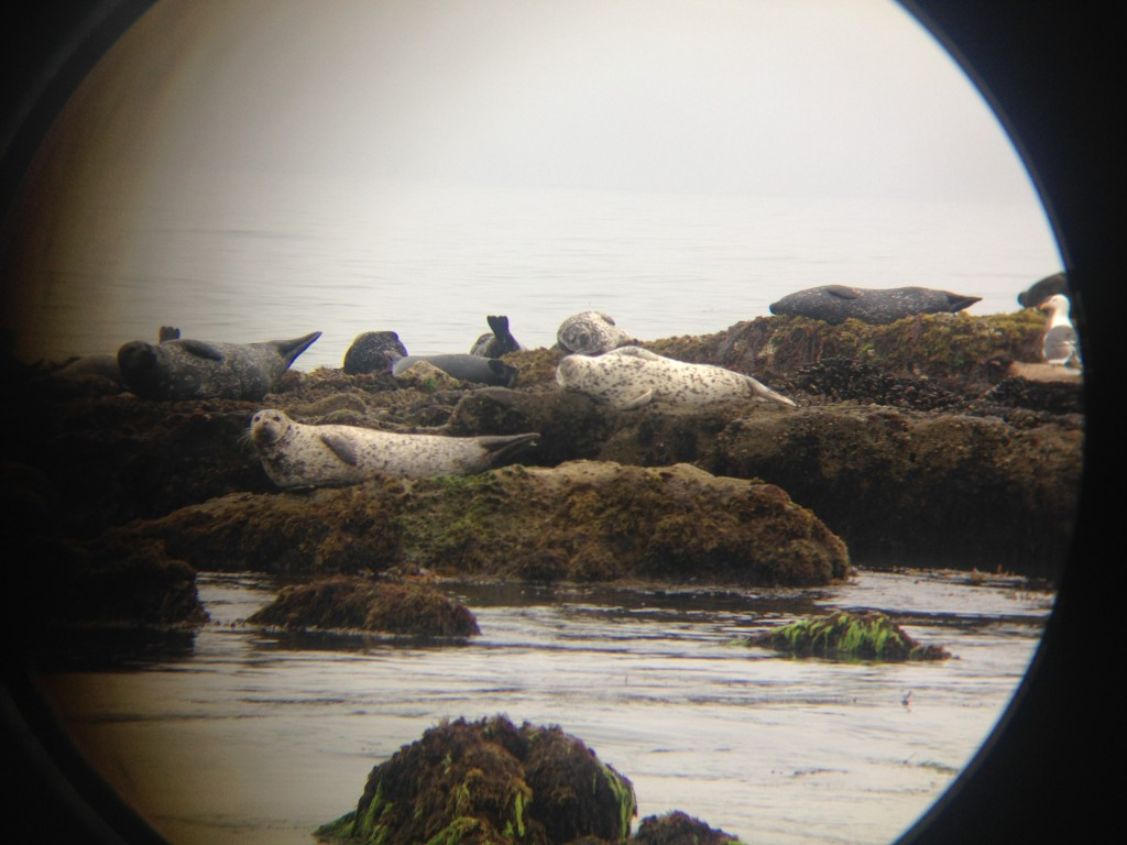 Carpenteria Seals